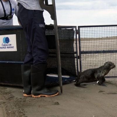 FUNDACION MUNDO MARINO: Tres lobos marinos, tres tortugas y dos comadrejas regresaron a sus hogares