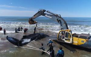 Luego de 28 horas de intenso trabajo, rescatistas lograron reinsertar a la ballena varada en Mar del Tuyú