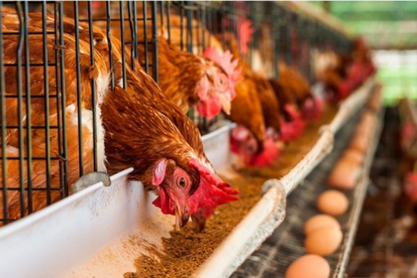 """Próximo lunes el INTA brindará un curso gratuito y online sobre """"cría de gallinas ponedoras"""""""